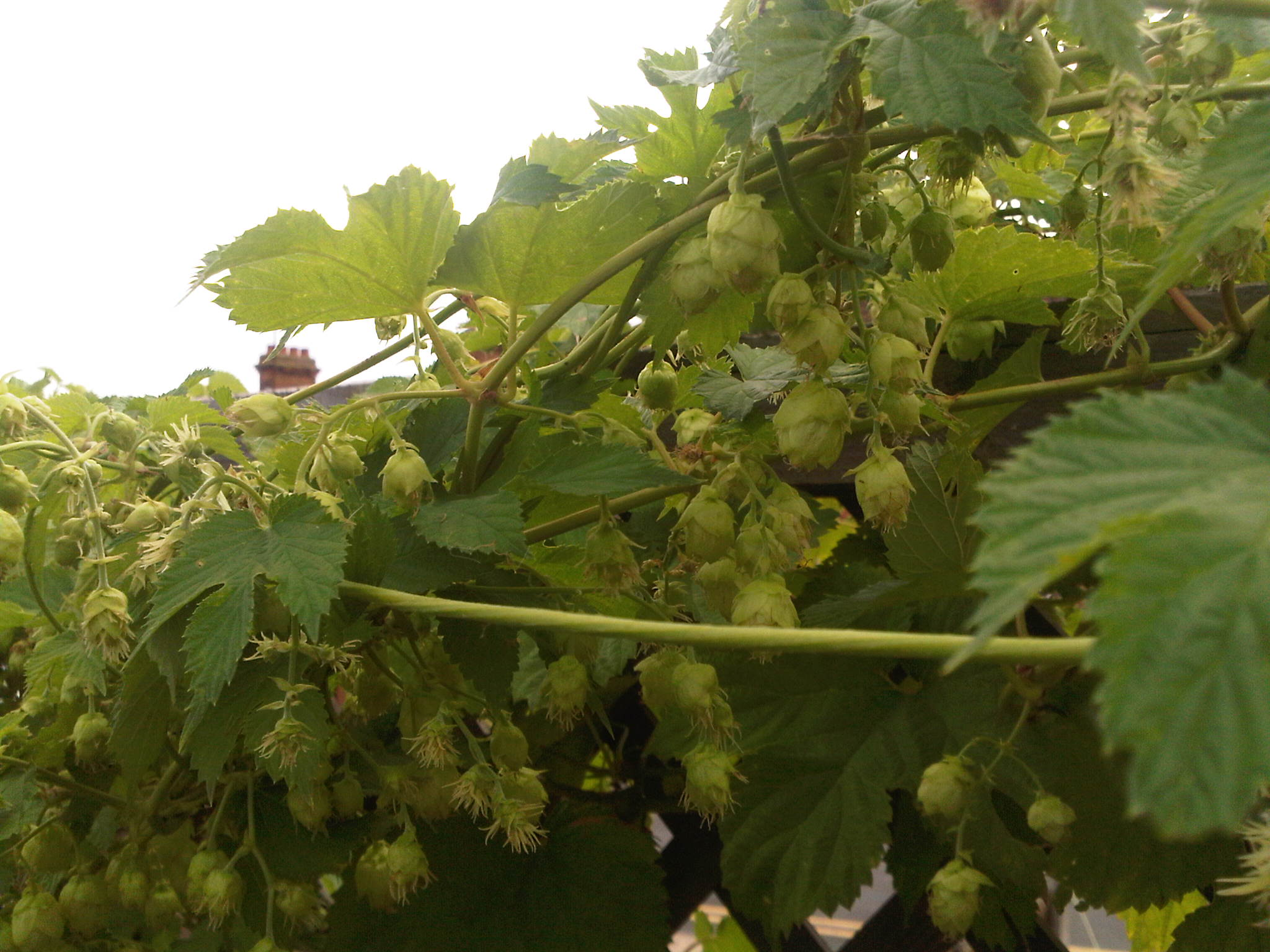 Choose British Hops