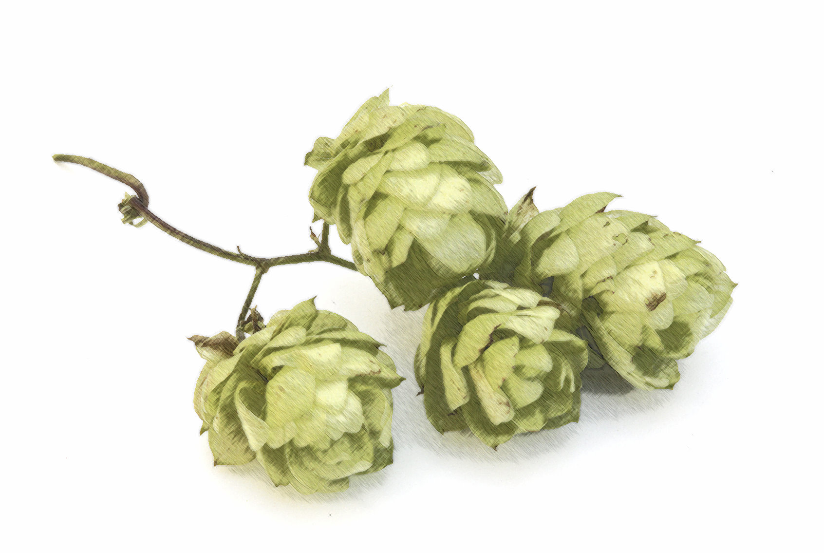 How do you calculate hop bitterness in beer